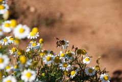 Abeja y pequeña flor de la manzanilla Fotos de archivo libres de regalías
