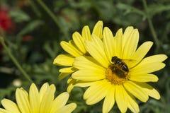 Abeja y planta amarilla v2 Foto de archivo libre de regalías