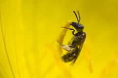 Abeja y polen Imagenes de archivo