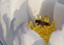 Abeja y polen en el Waterlily o Lotus Flower Foto de archivo