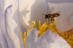 Abeja y polen en el Waterlily o Lotus Flower Fotografía de archivo