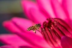 Abeja y polen en el Waterlily o Lotus Flower Imagenes de archivo