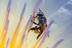Abeja y polen en el Waterlily o Lotus Flower Foto de archivo libre de regalías
