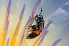 Abeja y polen en el Waterlily o Lotus Flower Imagen de archivo libre de regalías
