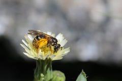 Abeja y polinización de la miel Foto de archivo