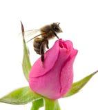 Abeja y rosa del rosa Imagenes de archivo