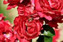 Abeja y rosas Imagen de archivo