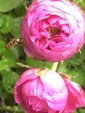 Abeja y Rose perfumada Fotografía de archivo libre de regalías