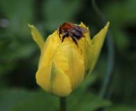 Abeja y tulipán Imágenes de archivo libres de regalías