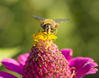 Abeja y una flor Imagenes de archivo
