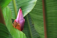Abeja y una flor del plátano (Musaceae) Imagen de archivo libre de regalías