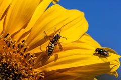 Abeja y una mosca en una floración Imagen de archivo libre de regalías