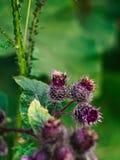 Abeja y una planta de la bardana Fotos de archivo