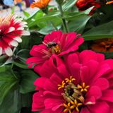 Abeja y una rosa Fotografía de archivo libre de regalías