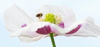 Abeja y x28; Mellifera& x29 de los Apis; en la flor de la amapola que recoge la miel Fotos de archivo