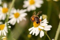 abejas Foto de archivo libre de regalías