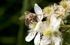 abejas Fotos de archivo libres de regalías