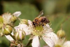 abejas Imagen de archivo
