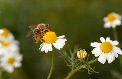 abejas Imágenes de archivo libres de regalías