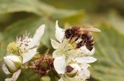 abejas Fotos de archivo