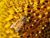 Abejas al polen de un girasol en el jardín Imagenes de archivo