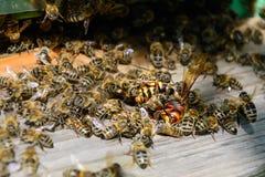 Abejas atacadas por los avispones en la colmena Avispón del asesino de abeja Apicultura Fotografía de archivo