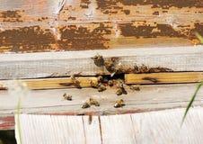 Abejas cerca de la entrada en la colmena Imagen de archivo