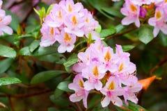 Abejas cerca de los brotes florecientes de rododendros Imágenes de archivo libres de regalías