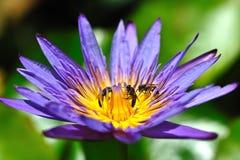 Abejas con la flor de loto Imágenes de archivo libres de regalías