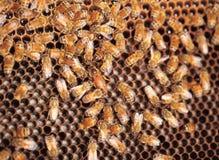 Abejas con la larva Foto de archivo libre de regalías