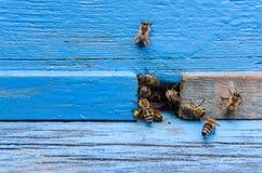 Abejas con la miel en la entrada Fotografía de archivo
