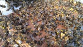 Abejas con polen Fotografía de archivo