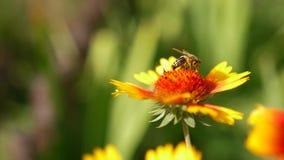 Abejas de la cámara lenta que vuelan recogiendo el polen de las flores que polinizan cierre de la flor encima del trabajo en día  almacen de video