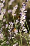 Abejas de la carda mechera que recogen el néctar y el polen en las flores de la lavanda Foto de archivo