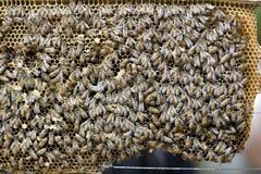 Abejas de la miel Imagenes de archivo