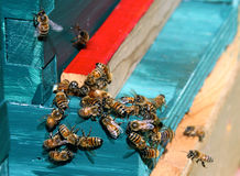 Abejas de la miel Imágenes de archivo libres de regalías