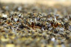Abejas de la miel Imagen de archivo libre de regalías