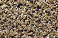 Abejas de la miel Imagen de archivo