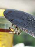 Abejas de la miel (Apis) Imagenes de archivo