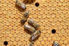 Abejas de la miel de Carnica en los peines Imagen de archivo