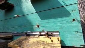 Abejas de la miel cerca de una colmena, en vuelo almacen de video