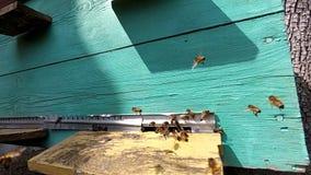 Abejas de la miel cerca de una colmena, en vuelo metrajes