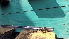 Abejas de la miel cerca de una colmena, en vuelo almacen de metraje de vídeo