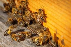 Abejas de la miel con el polen que intenta entrar en la colmena en una boa del aterrizaje Foto de archivo libre de regalías