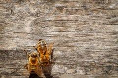 Abejas de la miel con el polen que intenta entrar en la colmena en una boa del aterrizaje Fotos de archivo libres de regalías
