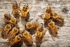Abejas de la miel con el polen que intenta entrar en la colmena en una boa del aterrizaje Fotografía de archivo libre de regalías