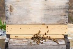 Abejas de la miel con las cestas llenas del polen Imagen de archivo