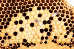 Abejas de la miel del panal y del trabajador Foto de archivo