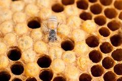 Abejas de la miel del panal y del trabajador Fotos de archivo libres de regalías