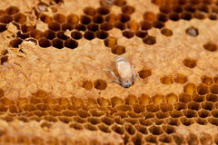 Abejas de la miel del panal y del trabajador Fotos de archivo